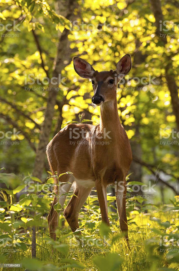 White tailed deer feeds at Big Meadow stock photo