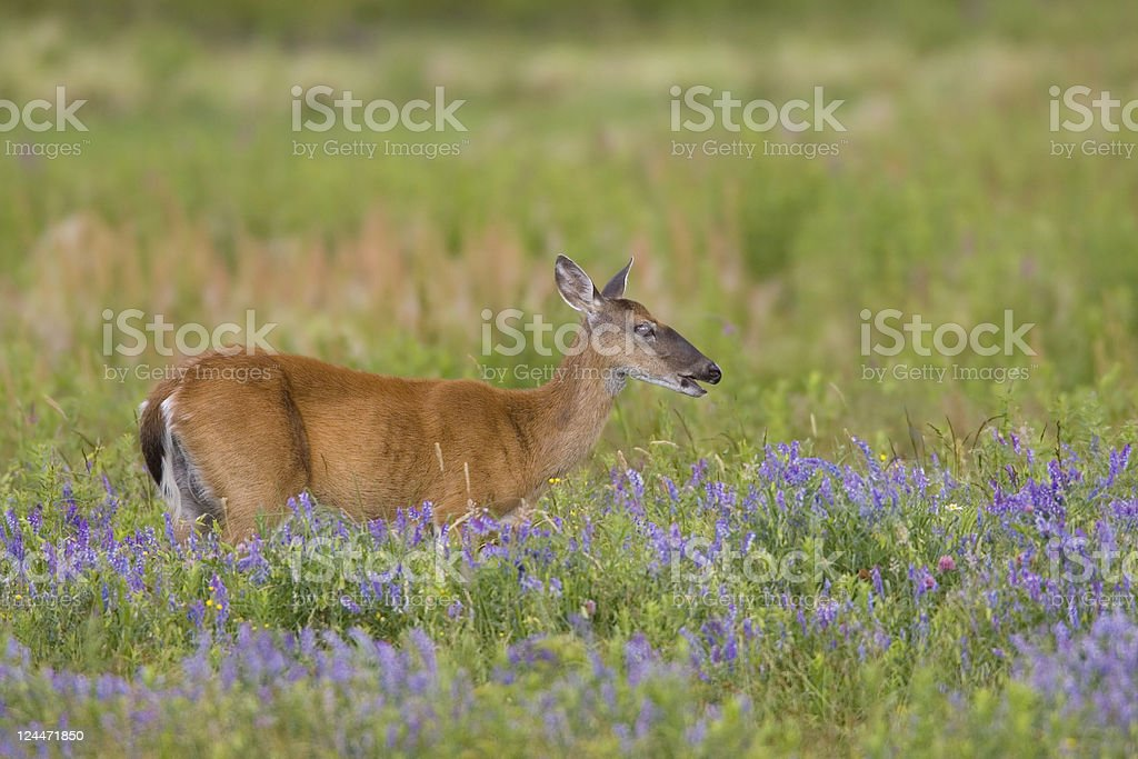 White Tailed Deer in Spring Flower Meadow stock photo