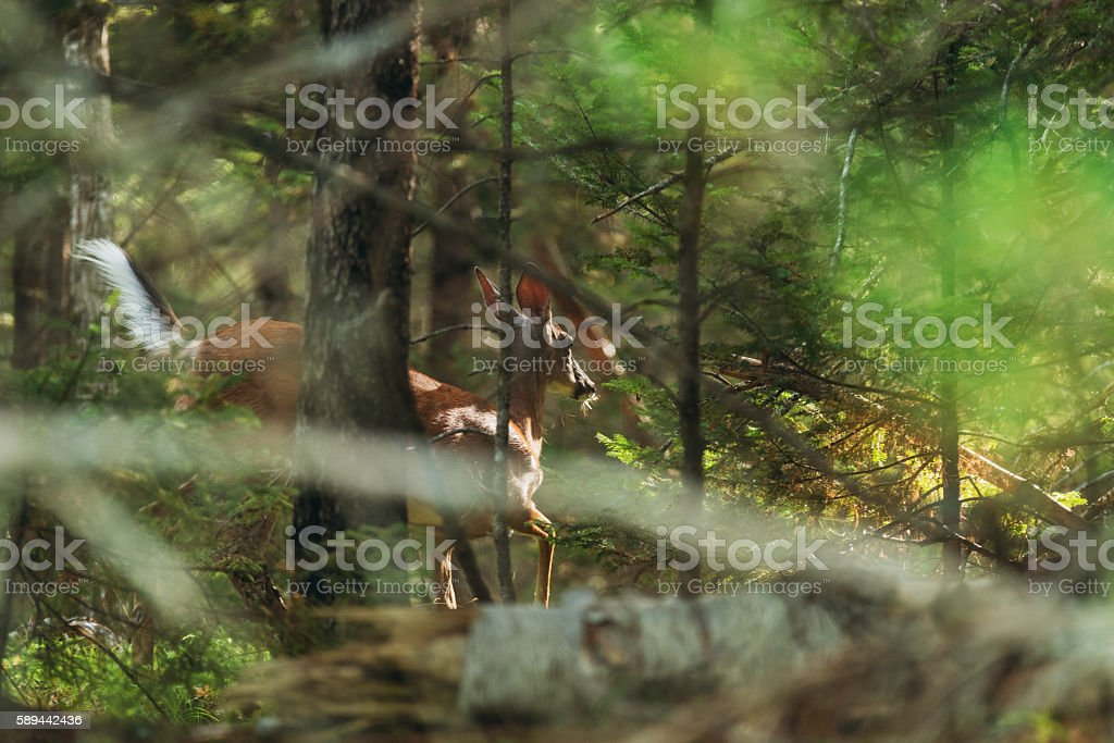 White Tailed Deer stock photo