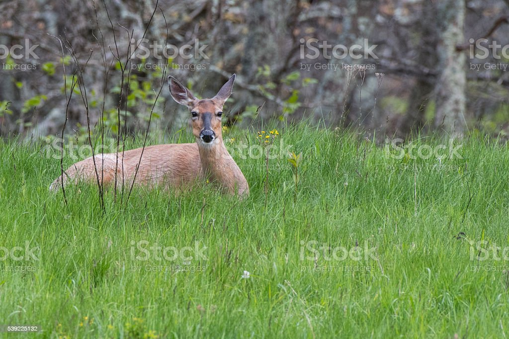 White Tailed Deer Resting in Tall Green Grass stock photo