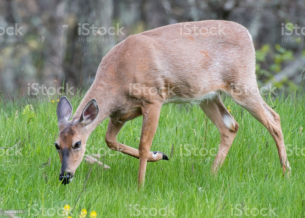 White Tailed Deer Walking in Green Grass stock photo