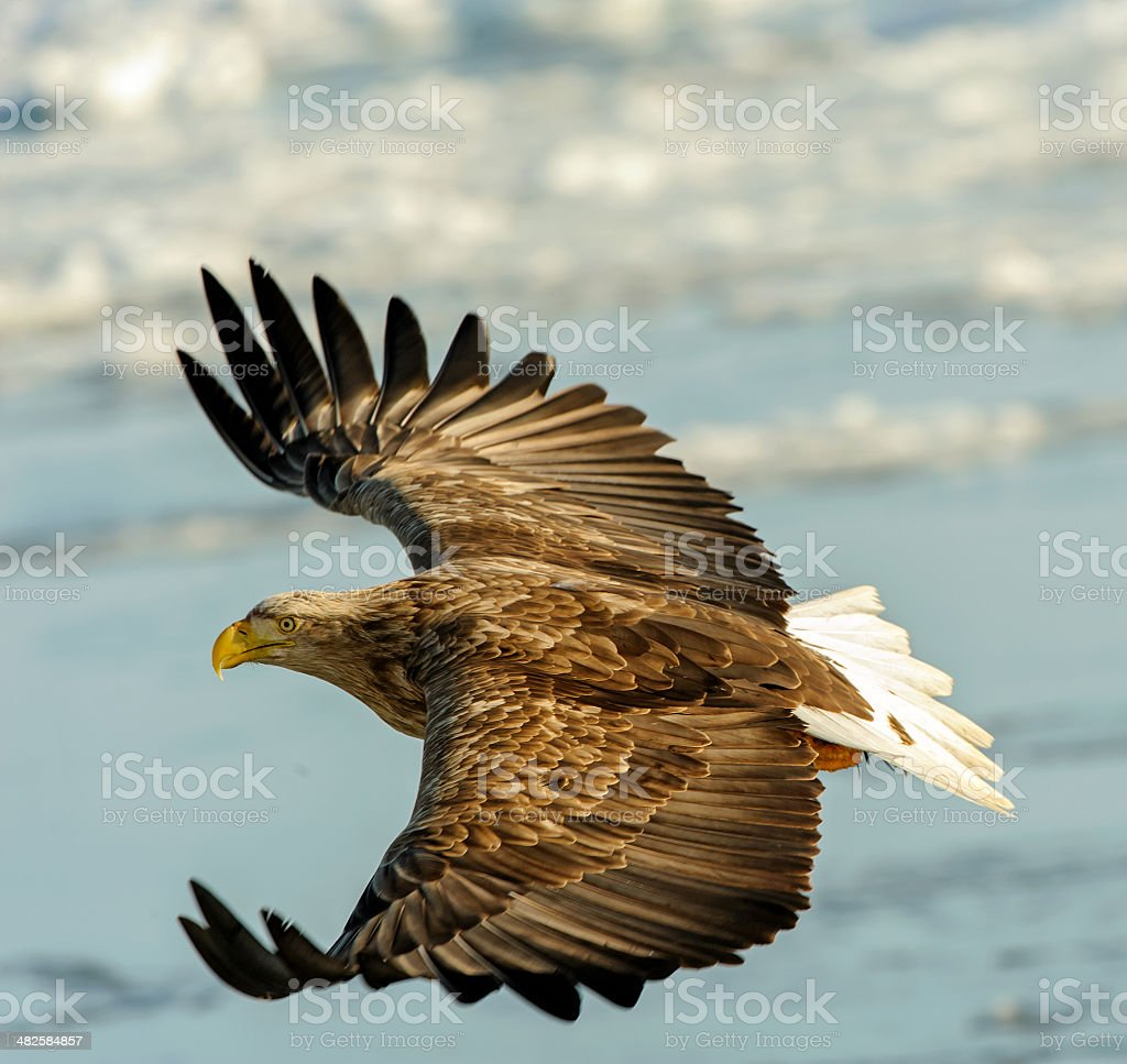 White tailed eagle (Haliaeetus albicilla) flying stock photo
