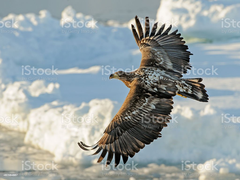White tailed eagle (Haliaeetus albicilla) flying stock photo