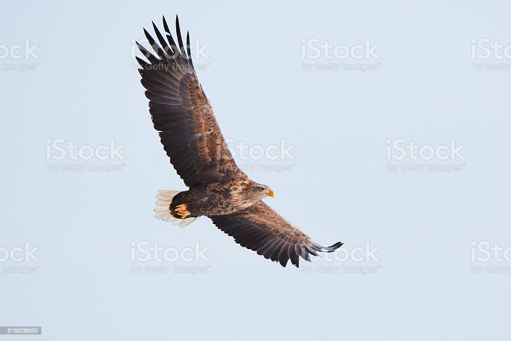 White tailed eagle flying stock photo