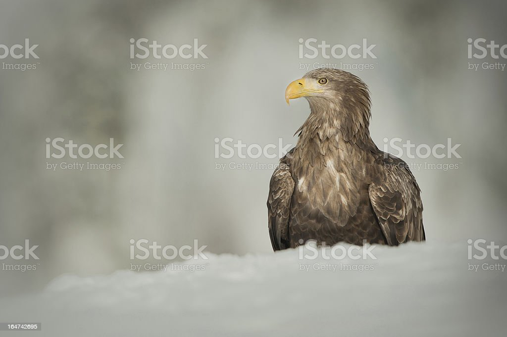 White Tailed Eagle royalty-free stock photo