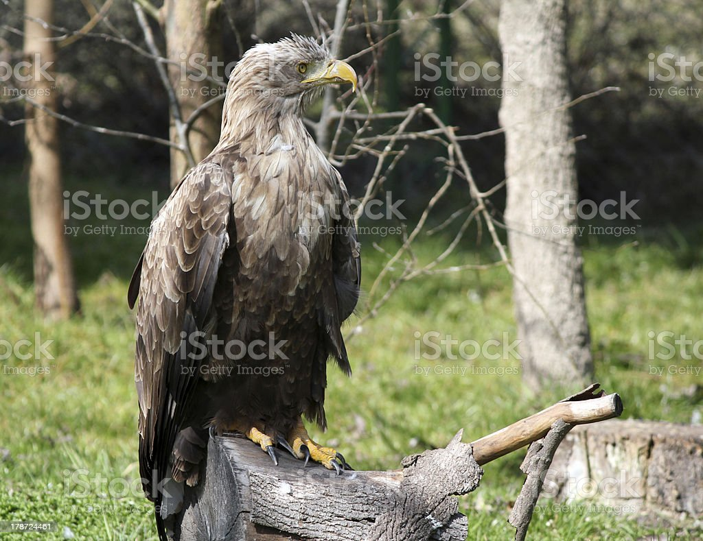 white tailed eagle standing on wood wildlife royalty-free stock photo