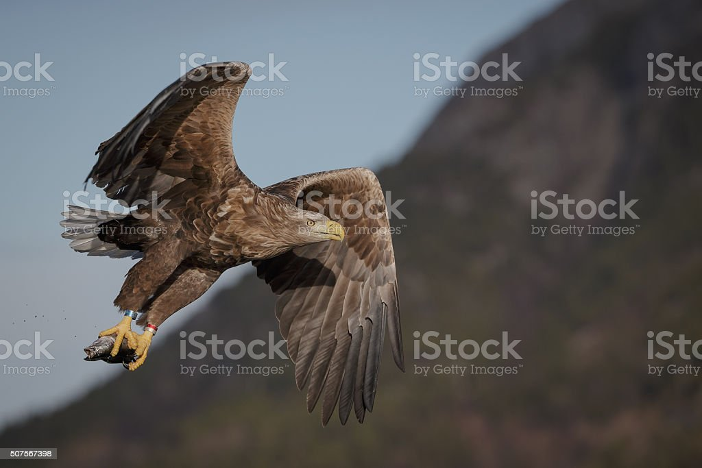 White tailed eagle with prey stock photo