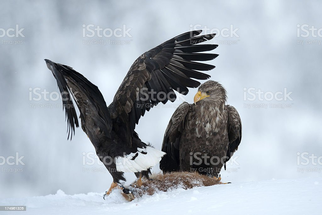White Tailed Eagles in the wild royalty-free stock photo
