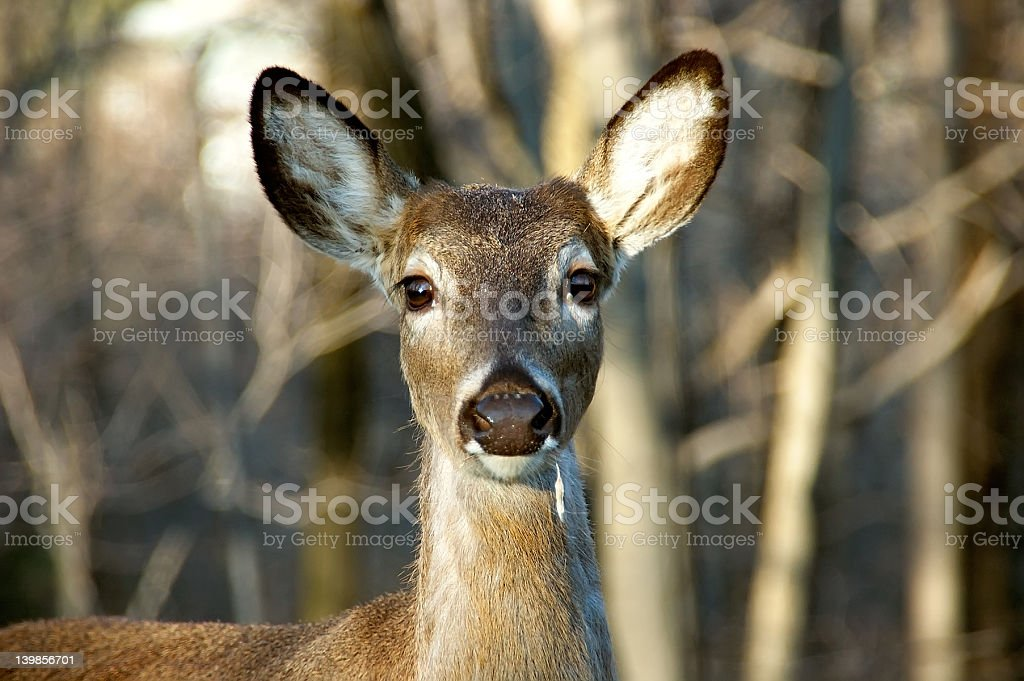 White Tailed Mule Deer stock photo