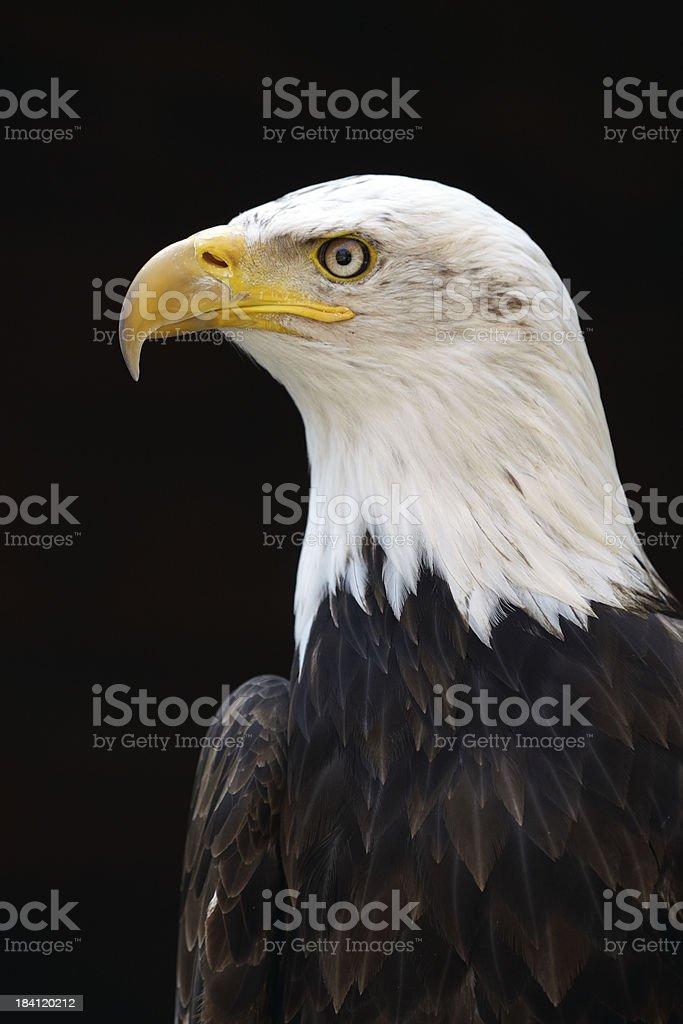 White tailed sea eagle royalty-free stock photo