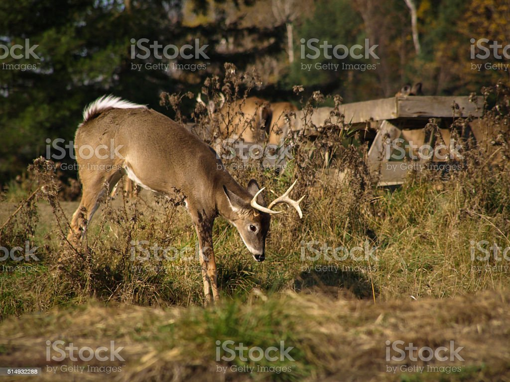 White Tailes Deer stock photo