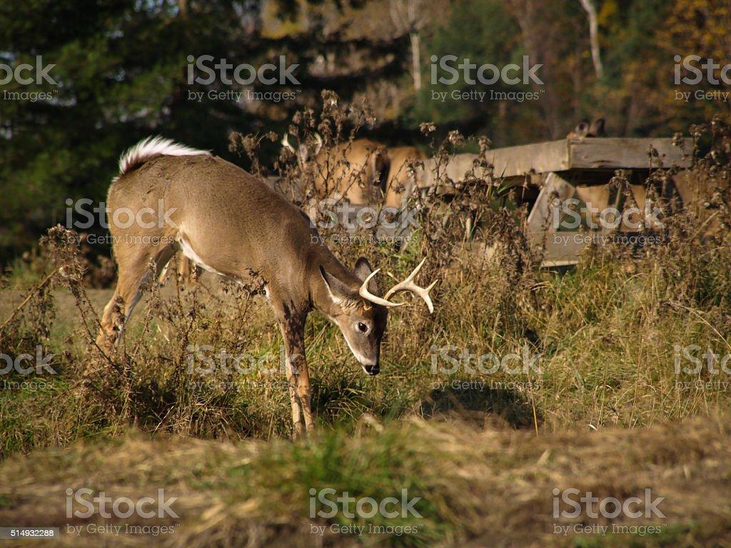 White Tailes Deer stock photo