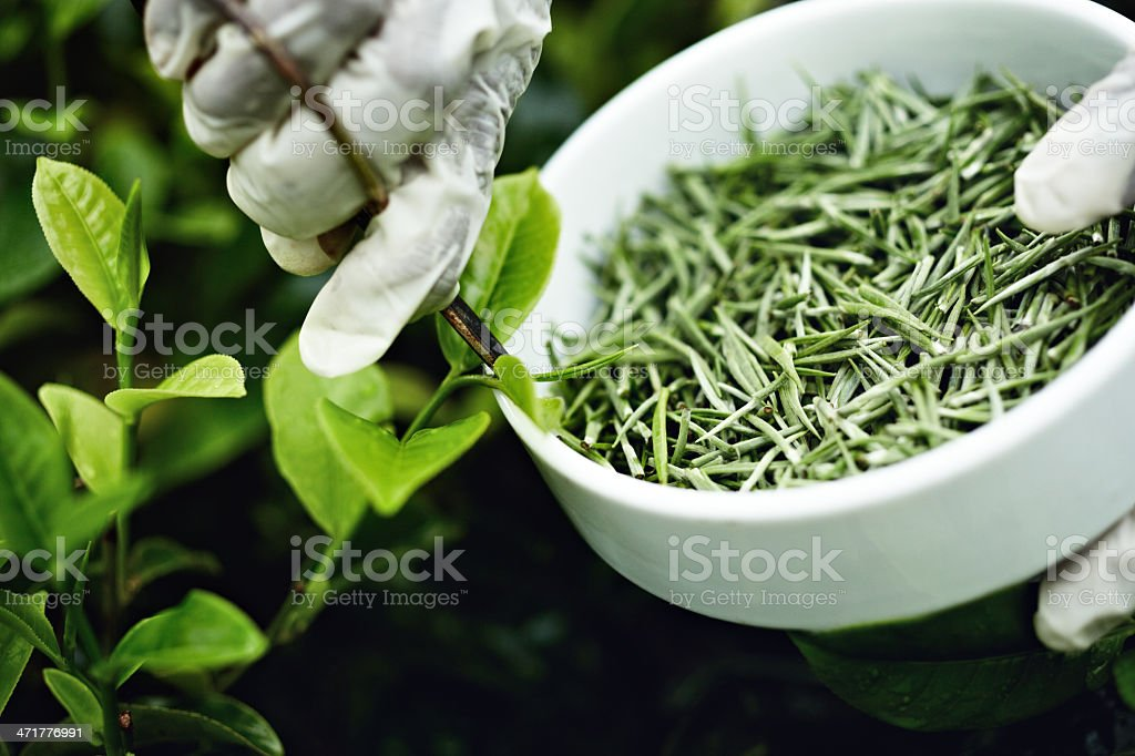 White tea picker royalty-free stock photo
