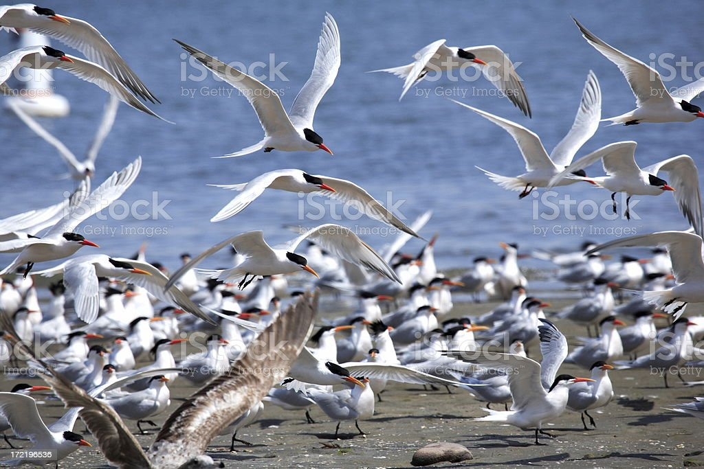 White terns on a beach and flying above with ocean in rear stock photo
