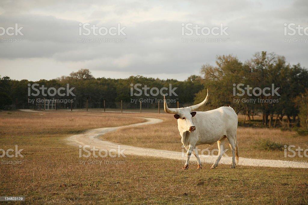 White Texas longhorn royalty-free stock photo