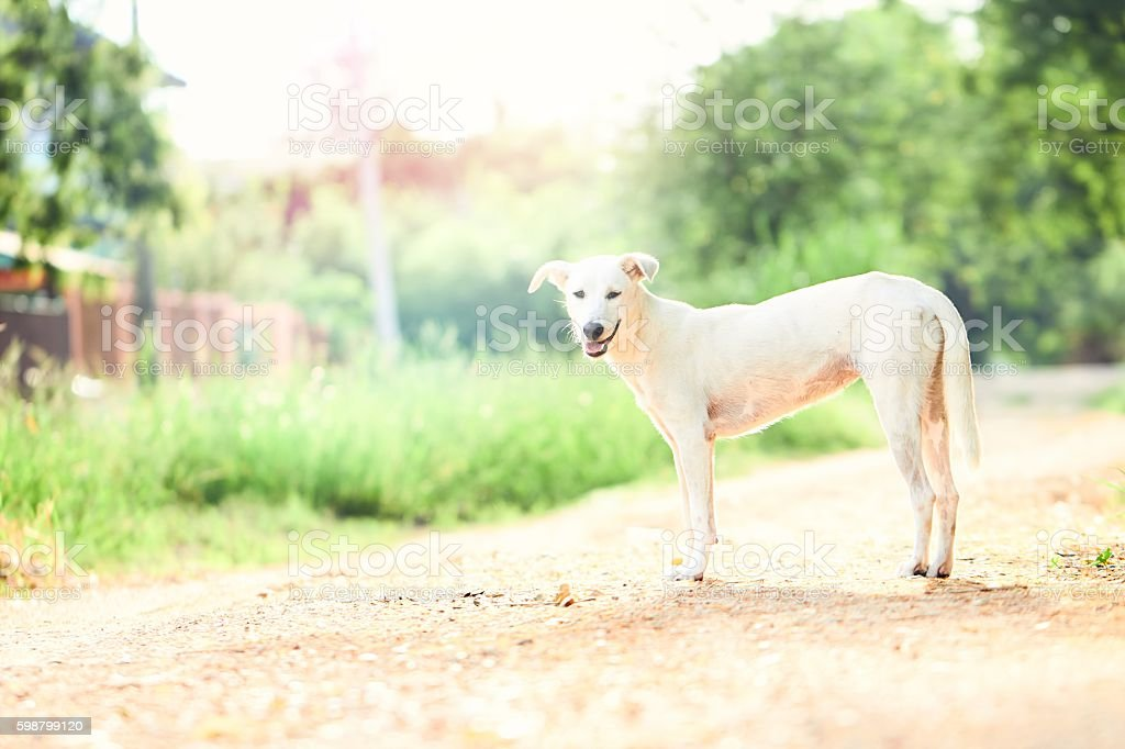 White Thai dog at upcountry stock photo