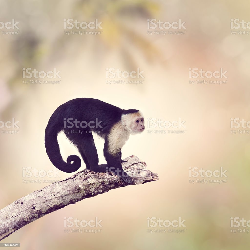 White Throated Capuchin Monkey stock photo