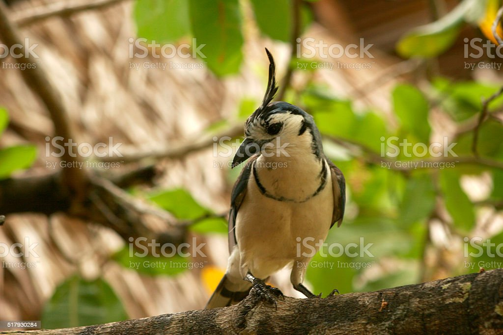White throated magpie jay stock photo