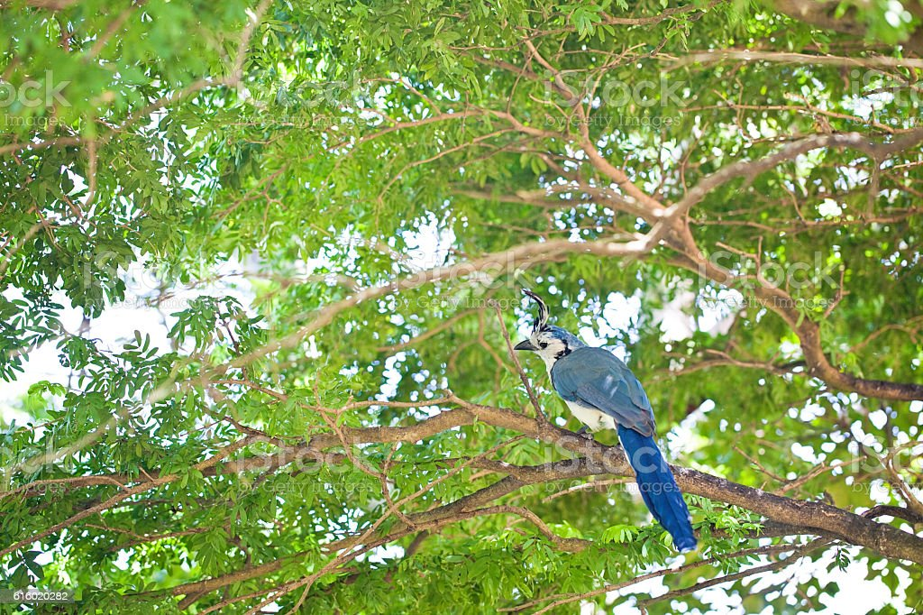 White Throated Magpie-Jay stock photo