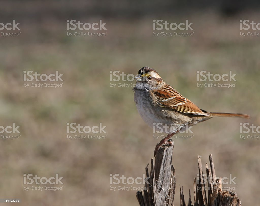 White Throated Sparrow royalty-free stock photo