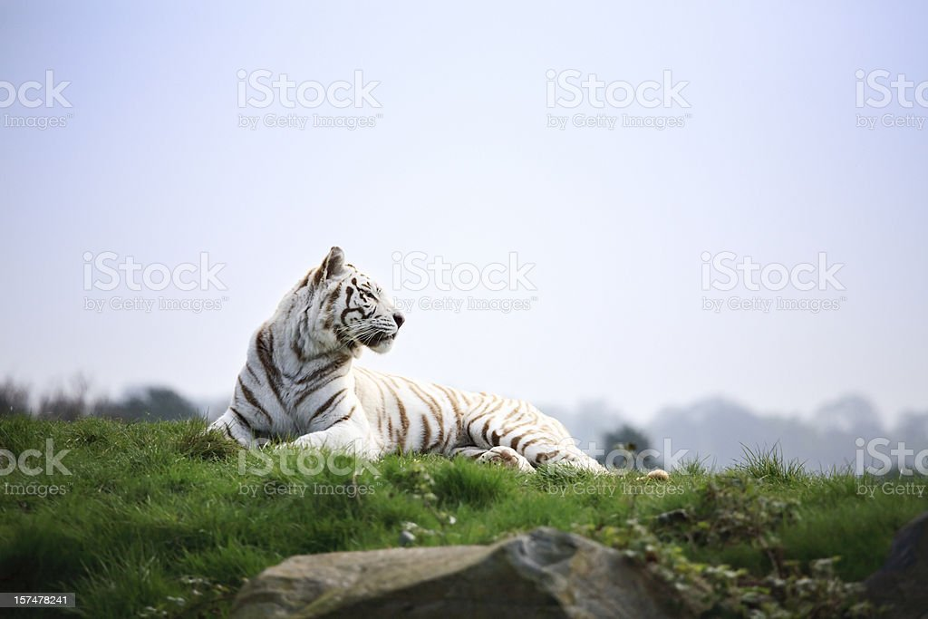 White tiger basking in the sun royalty-free stock photo