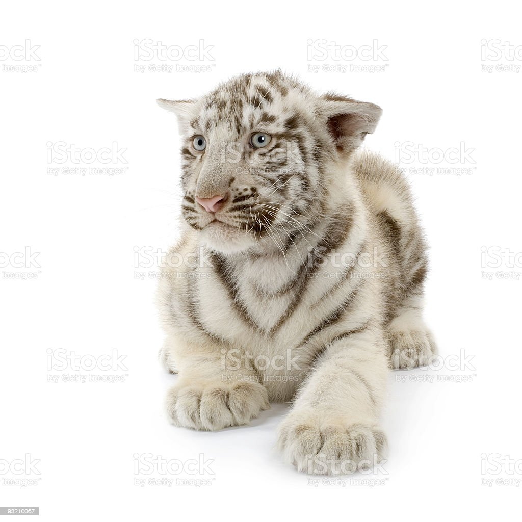 White Tiger cub (3 months) royalty-free stock photo