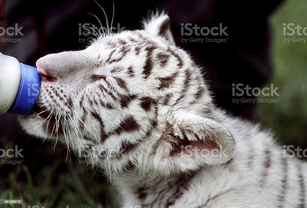 white tiger cub stock photo