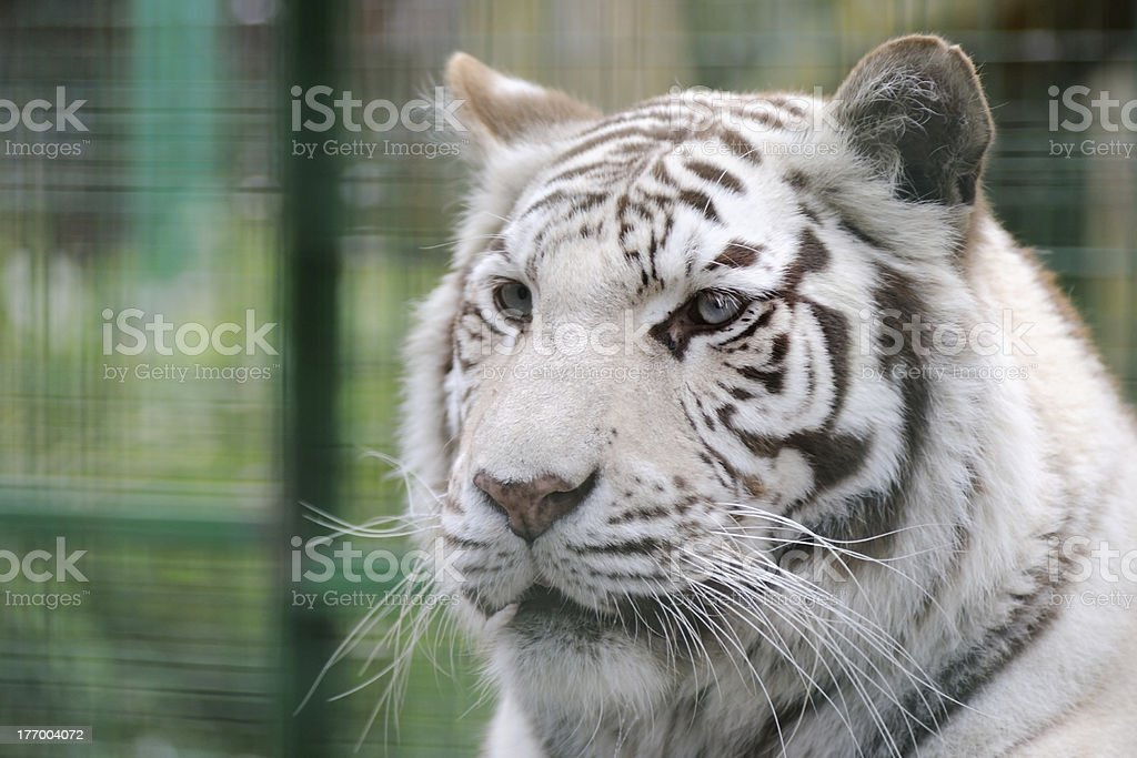 White tiger face detail royalty-free stock photo