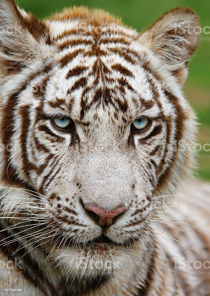 White Tiger four royalty-free stock photo