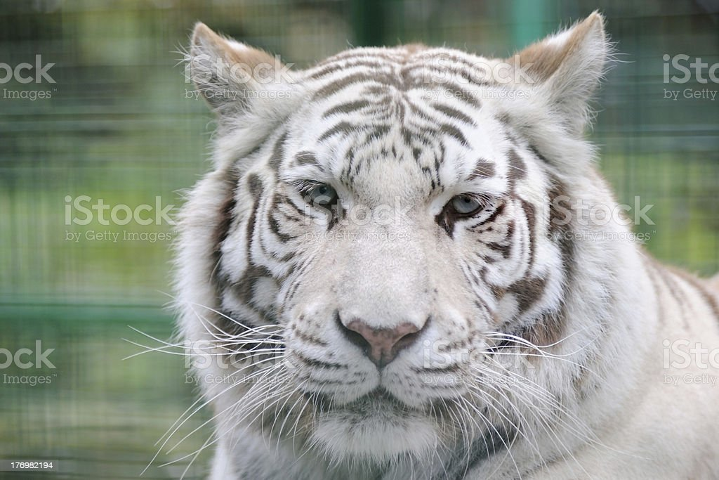 White tiger full face royalty-free stock photo