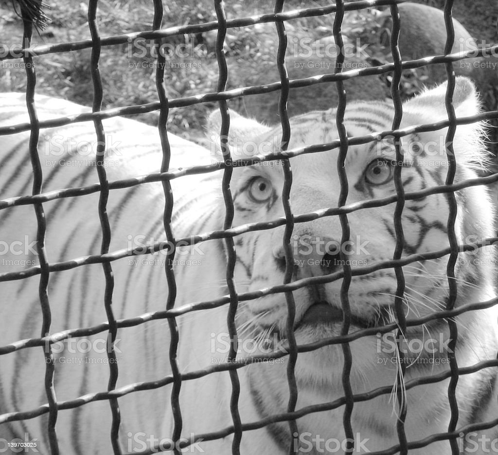 White Tiger in Cage (Black and White) royalty-free stock photo
