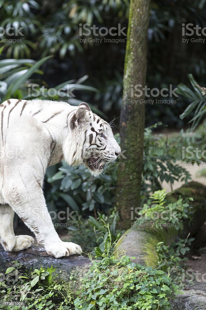 White Tiger in Captivity Walking Around royalty-free stock photo