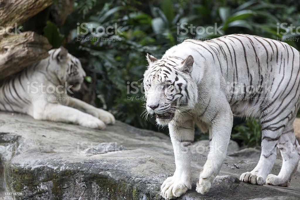 White Tiger in Captivity Walking Around royalty-free stock photo