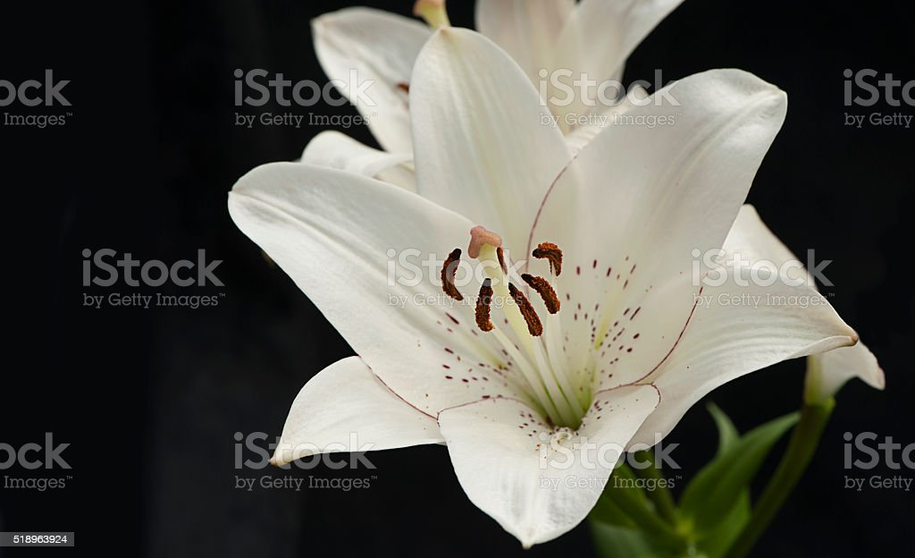 White Tiger Lily against black background stock photo