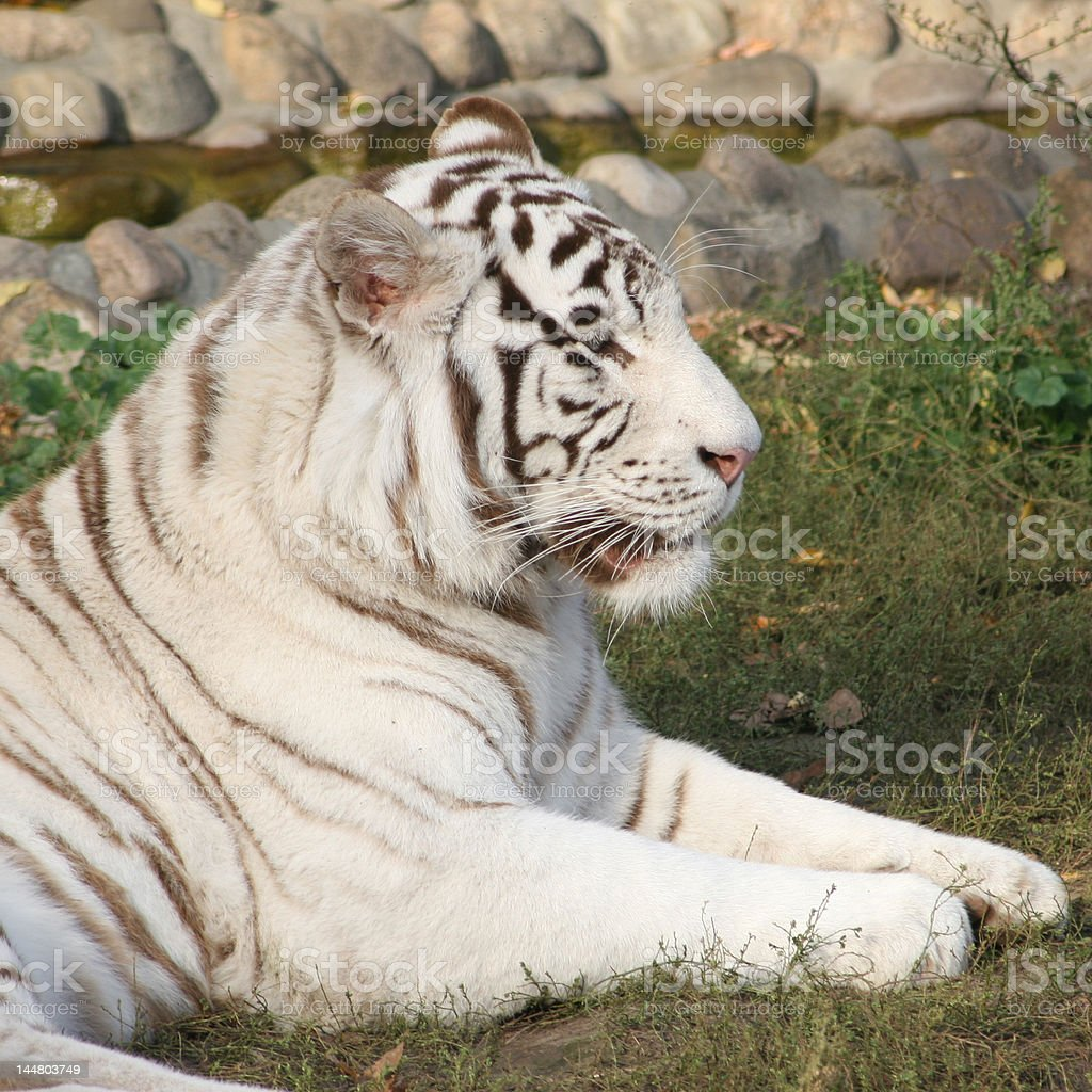 White tiger. royalty-free stock photo