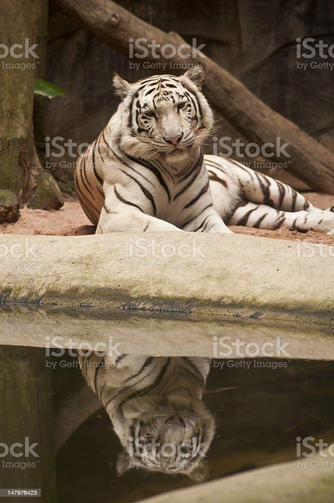 Biały tygrys zbiór zdjęć royalty-free