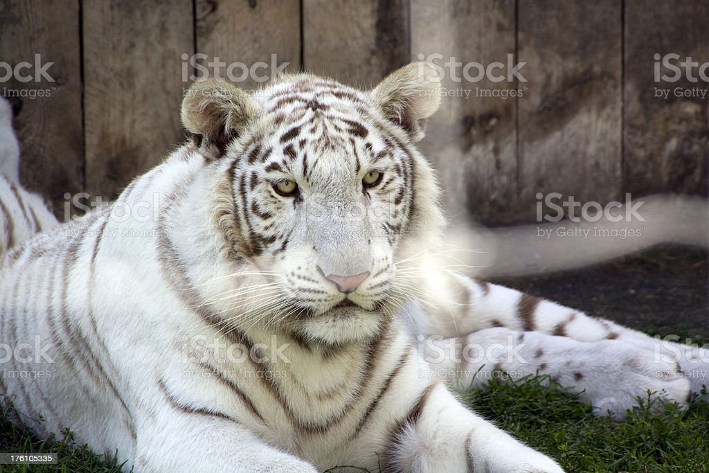 White Tiger royalty-free stock photo