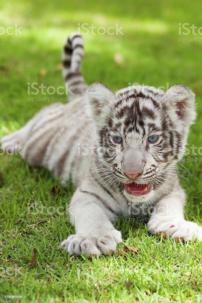 White Tiger. royalty-free stock photo