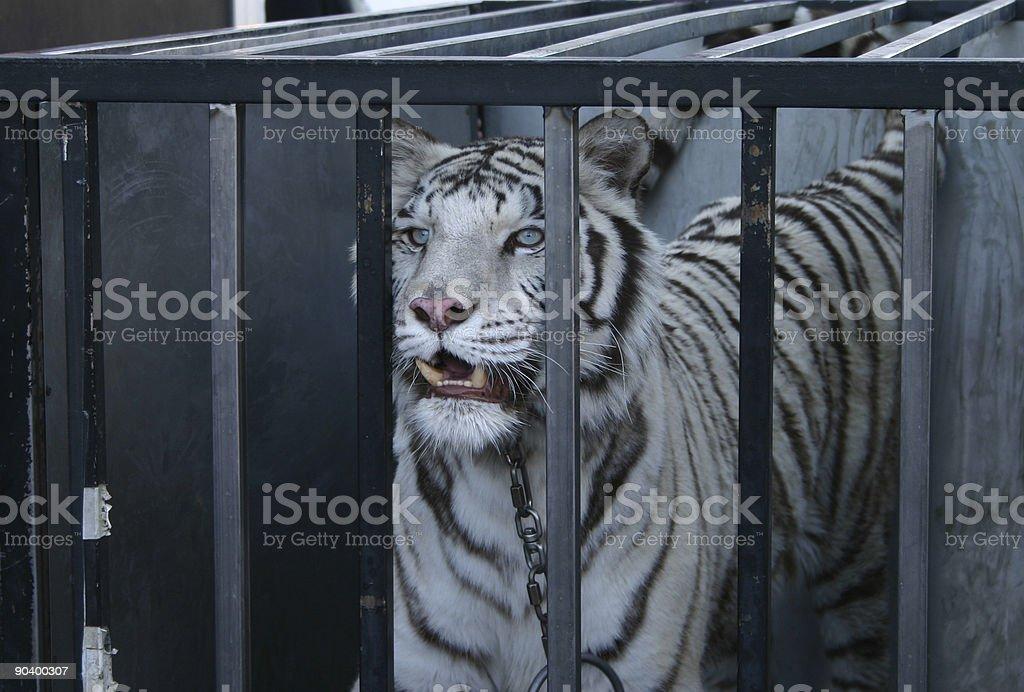 Tigre-branco foto de stock royalty-free