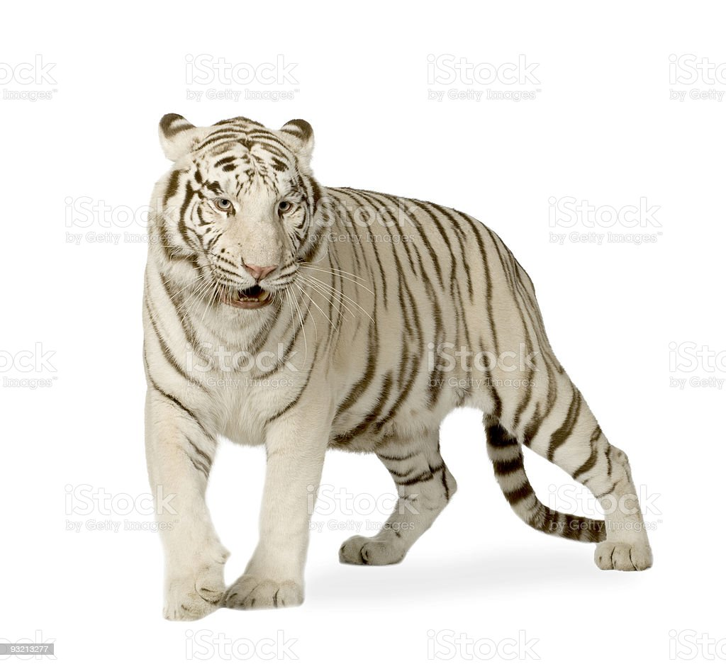 White Tiger  (3 years) royalty-free stock photo