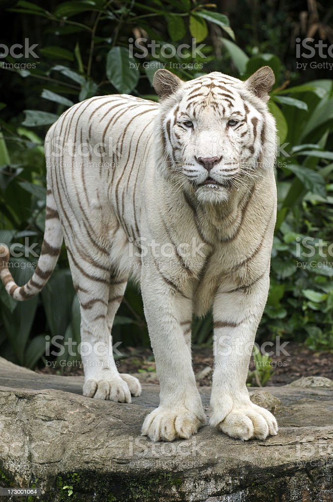 White Tiger Standing stock photo