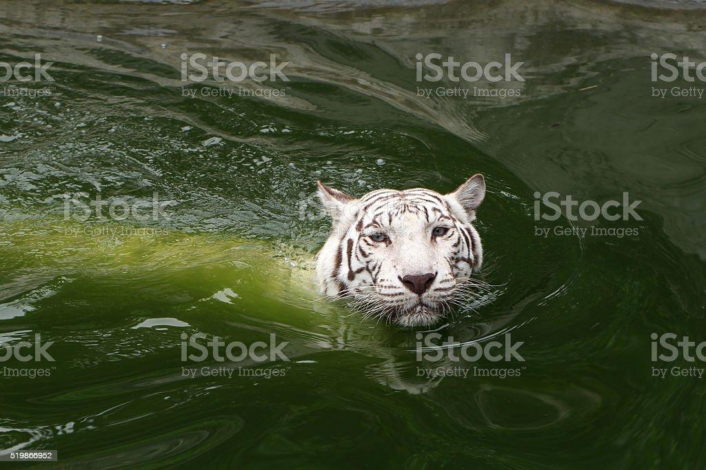White Tiger Swiming looking stock photo