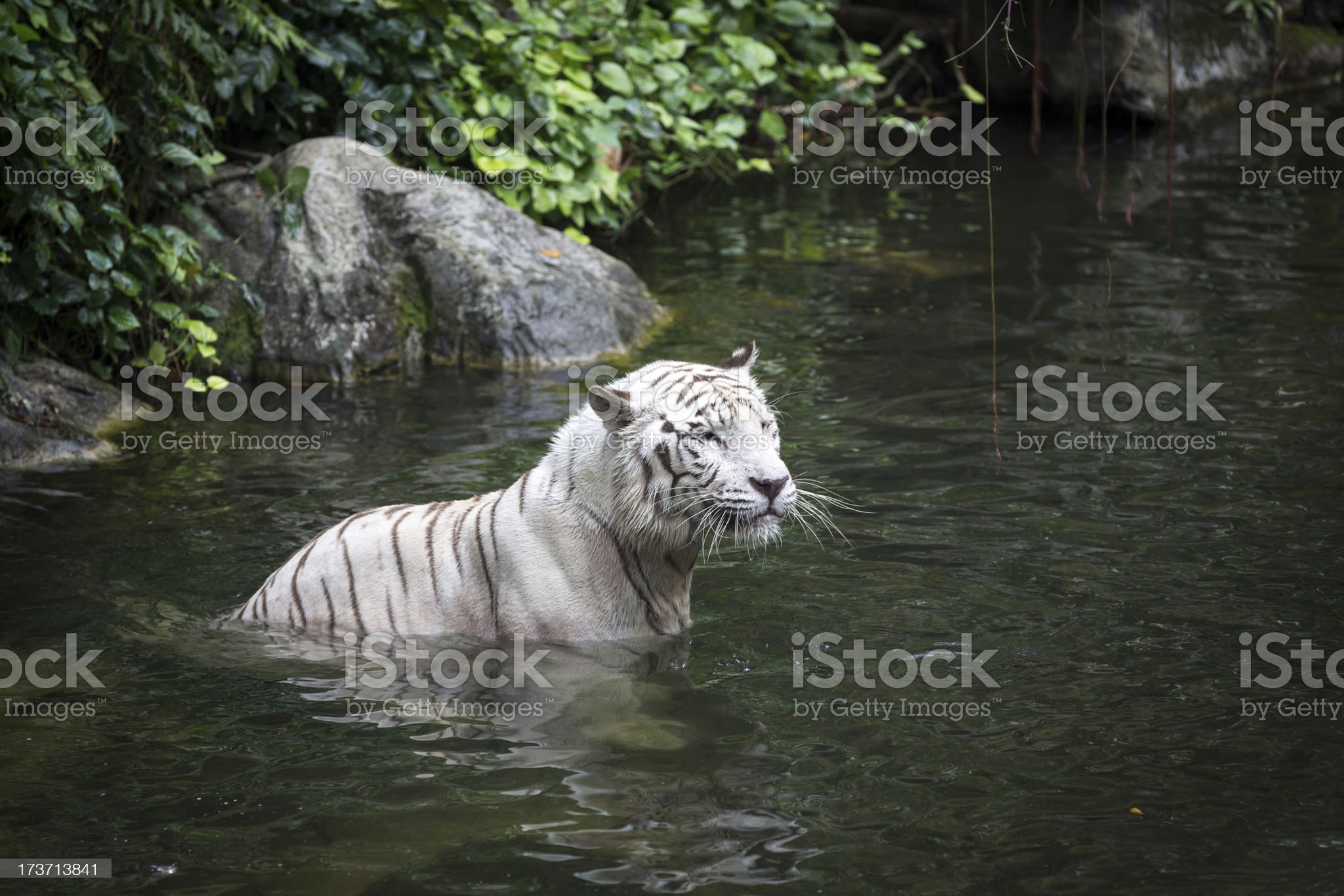 White Tiger Swimming in a Lake royalty-free stock photo