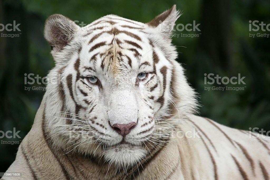 White Tiger's portrait royalty-free stock photo