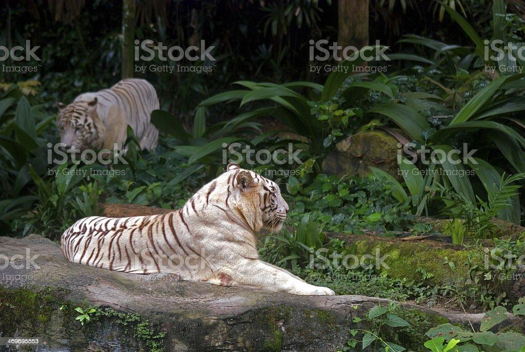 White tigers, Singapore royalty-free stock photo