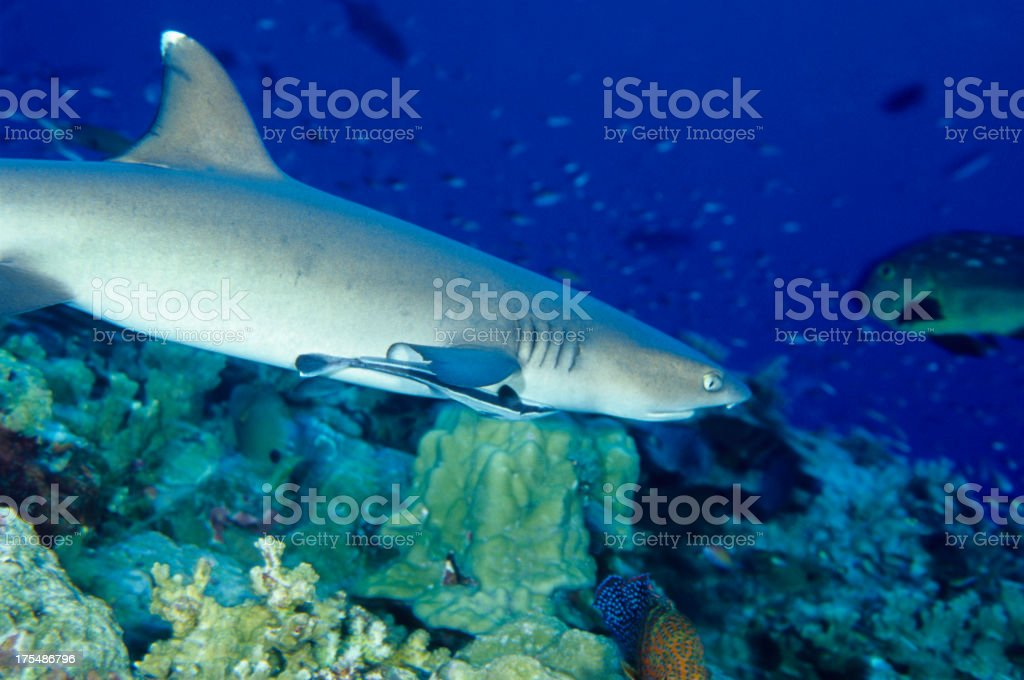 White Tip Reef shark and remora stock photo