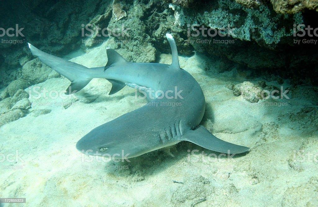 Requin pointe blanc photo libre de droits