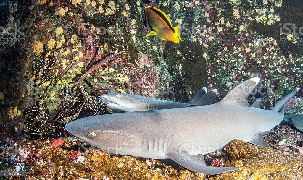 White tip reef sharks stock photo