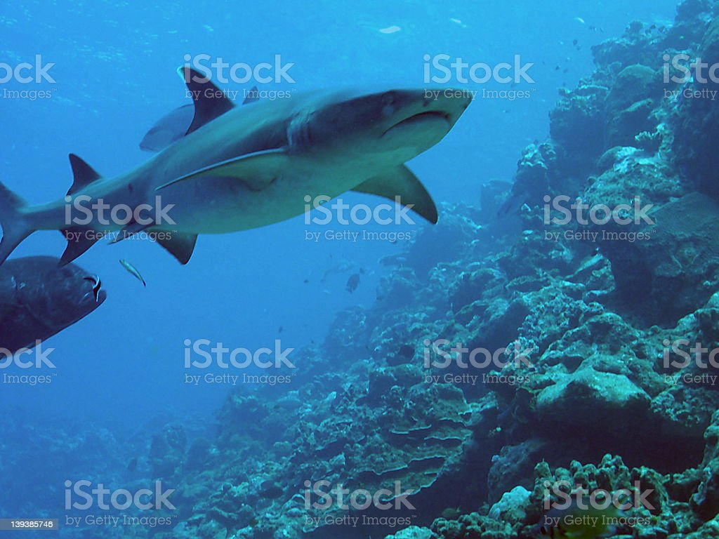 White tipped reef shark royalty-free stock photo