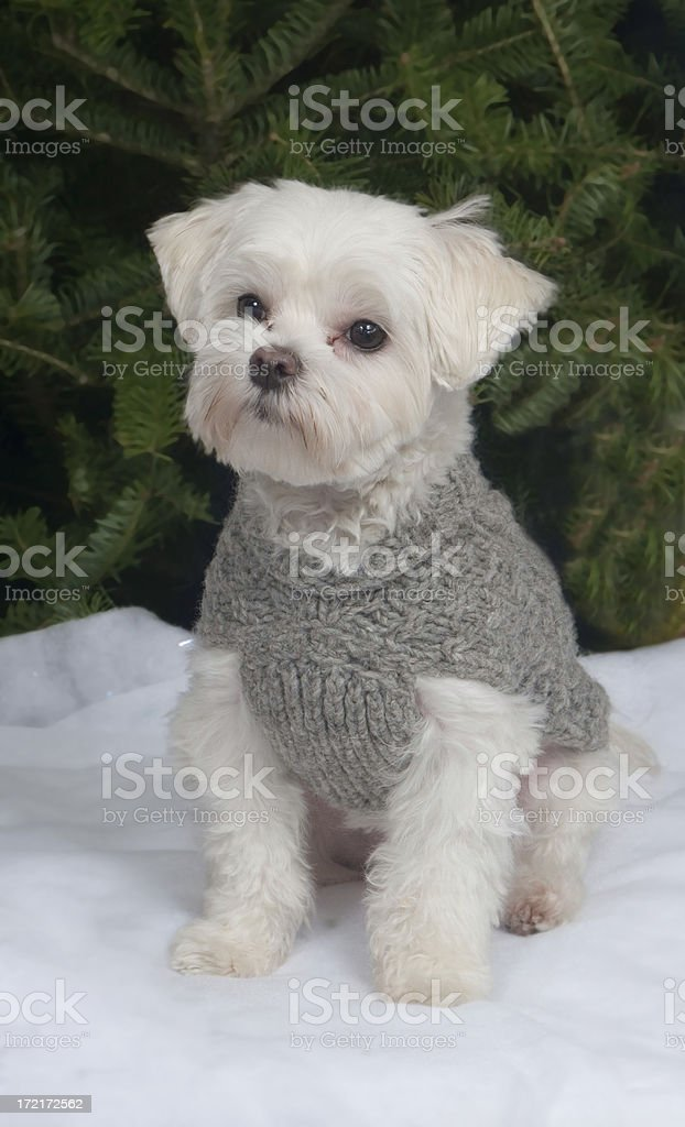 White Toy Dog with Grey Sweater on Snowy Field stock photo